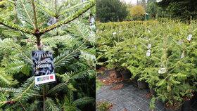 Vánoční stromek už v listopadu? Pražští lesníci prodávají jedličky v květináčích. Přečkají i Štědrý den!