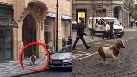 Kozí útěk! Rohaté zvíře uteklo z vánočního betlému, procházelo se po Pařížské