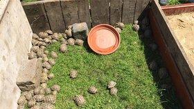 Želví »procházka« po Štěrboholích: 264 chráněných zvířat se chtěl někdo zbavit
