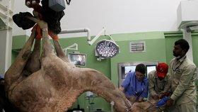 V Dubaji je první velbloudí nemocnice. Operace tu stojí nejméně 22 tisíc
