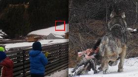 Vlci v italských Alpách už chodí k domům. Lidi jímá hrůza, byli i u školky