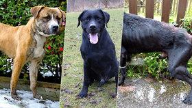 Zuboženého labradora zachránil jeho psí kamarád: Chris dostal krev od Tonyho!