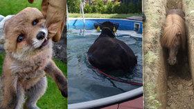 Nejkurióznější zásahy v roce 2017: Hasiči museli dostat krávu z bazénu i sundávat ženu ze stromu