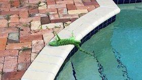 Na Floridě je taková zima, že leguáni padají ze stromů. Nejsou mrtví, varují zoologové