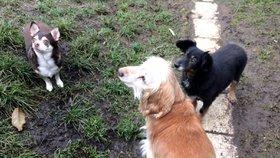 V Praze žije přes 80 tisíc psů. Nejčastěji se na ně volá Bene, Rexi nebo Jessie