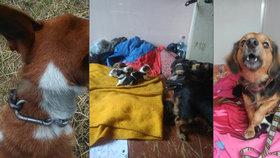 Fena se štěňaty bez jídla a uvázaný pes. Majitelka nechala zvířata trpět