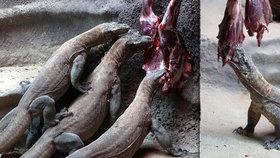"""Varani z pražské zoo milují krvavou hostinu! Společné krmení """"draků"""" v Evropě nemá obdoby"""