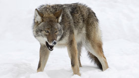 V Americe chybí vlci, začala je převážet vrtulníky z Kanady