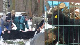 Mladá kráva v Jihlavě utekla z jatek: V centru srazila důchodkyni a zamířila do zoo