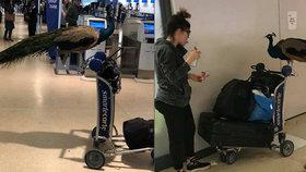 Pasažérka chtěla do letadla propašovat páva, prý jako psychickou podporu