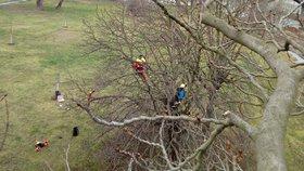 Lesníci ošetřili stovku stromů na Štvanici. Zeleň bude díky zásahu odolnější proti větru