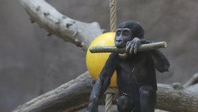 Zoo zahájilo stavbu pavilonu goril: Bydlet tu budou také luskouni