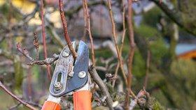 Jak na zimní řez ovocných stromů a dřevin, abyste měli v létě bohatou úrodu?