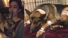 Vlčák hrdina zachránil svého páníčka před lupiči: Pes za něj schytal tři kulky