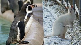 Klokanům v Táboře tuhá zima nevadí, tučňáci v Praze se před mrazy schovali
