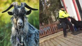 Marnivý kozel běhal 14 dnů po Brně: Chytili ho, když se zhlížel v zrcadle!