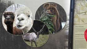 Lamy, sobi i velbloud tureckého sultána: Ve Stromovce žilo 40 tisíc zvířat, pak je vypustili do okolí