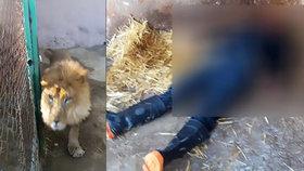 Ošetřovatele (†28) roztrhal v zoo lev: Muž zapomněl zavřít klec, stalo se mu to osudné