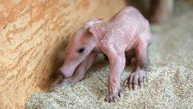 Už je na světě! Samice Kvída v pražské zoo porodila malého hrabáčka, první týden rozhodne
