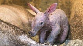 Pražská zoo dnes představí tříkilové mládě hrabáče. Chovatelé dávají pozor, aby ho matka nezabila