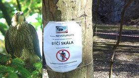 Vzácný sokol zavřel Býčí skálu: Zahnízdil tam po 50 letech, zvědaví turisté dostanou pokutu