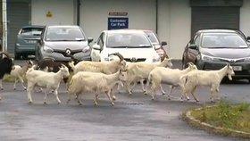 """Divoké kozy šikanují celé město. """"Lezou na auta a rozmnožují se jak o život"""""""