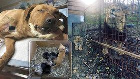 Žena chovala 21 koček v bytě 2+1, muž nelegálně lva. Co všechno je týrání zvířat?