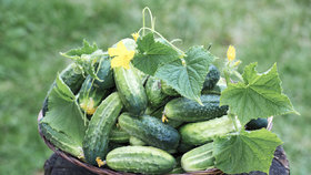 Zajistěte si bohatou úrodu okurek: Jaké druhy pěstovat, když nemáte skleník