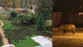 Zničený trávník a popelnicové hody: Soňa už roky válčí s divočáky. A prohrává