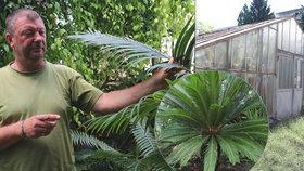 Skleníku, kde rostou cykasy z éry dinosaurů, hrozí zánik! Jinde na světě rostliny neuvidíte