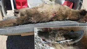 Farmář zastřelil záhadné zvíře. Vědci přiznali, že tohle není obyčejný vlk