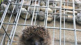 Chudák ježek! Šprajcnul se v kleci, z ocelového vězení ho vystříhali hasiči