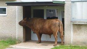 Haló, jste doma?! Po trutnovském sídlišti pobíhal býk, chytili ho u vchodu