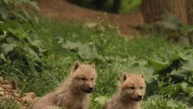 Populační exploze v Brně: Zoo hlásí přírůstky u klokanů, jelenů, sobů, vlků i losů