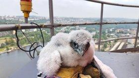 Zázrak přírody uprostřed města: Na komíně v Holešovicích se vylíhla mláďata vzácného sokola