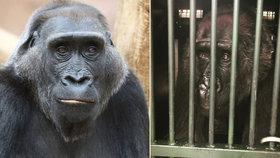 Gorila z pražské zoo se zotavuje po gynekologickém zákroku: Kamba se už napila i najedla!