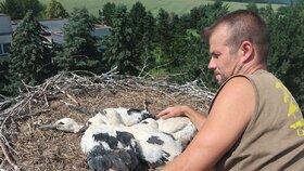 Smutná zpráva: Mláďat čápů ubývá, zvířecí záchranáři je kroužkovali na západě Čech