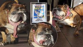 Nejošklivějším psem světa se stala fenka: Nelichotivý titul získala buldočka Zsa Zsa