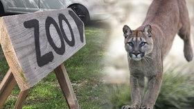 Puma běhá kolem Zvole už dva dny: Co se stane, až vyhladoví? Lovit neumí, říká její chovatel