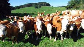 Tahanice o hlučné zvonce skončily u soudu. Farmářka tradiční kravský doplněk uhájila