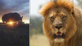 Krutá pomsta přírody: Smečka lvů rozsápala tři pytláky, kteří šli lovit nosorožce