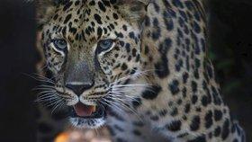 Mladý jaguár utekl z výběhu a zabil šest zvířat. V zoo pro něj měli pochopení
