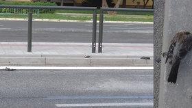 Smrt prší z nebes: V Košicích jsou ulice posety mrtvými holuby!