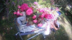 Žena otrhala v Brně záhonky a květiny chtěla prodávat: Na trávě usnula pod peřinou