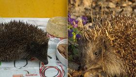 Pražské ježky sužuje žízeň: »Vyprahlá« zvířata končí v péči ošetřovatelů