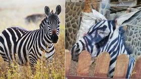 Egyptská zoo si utrhla ostudu: Přemalovaného osla vydávali za zebru! Ochránci zvířat jsou v šoku