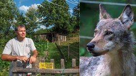 Chovatel v Krkonoších se nestačil divit: Vedle ovcí našel v ohradě vystrašenou vlčici