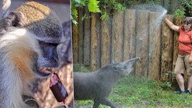 Ledová sprcha, hodně vody nebo zmrzlina: Chovatelé zoo a zoukoutku se během horka nezastaví