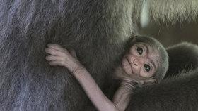 Obrovská radost v pražské zoo: Narodilo se mláďátko gibona stříbrného, je to chovatelská vzácnost