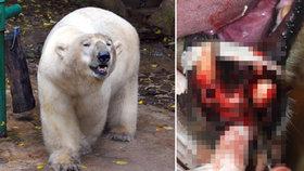 Smutný víkend v brněnské zoo: Po operaci zubů uhynul lední medvěd Umca